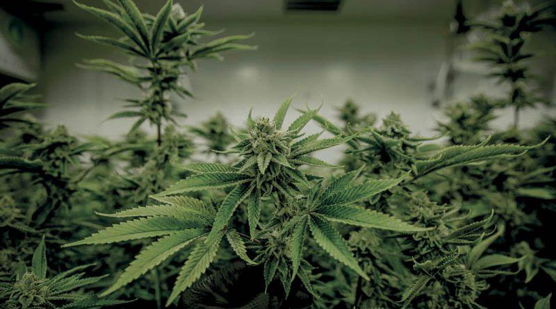 ONZ uznała konopie za legalny lek