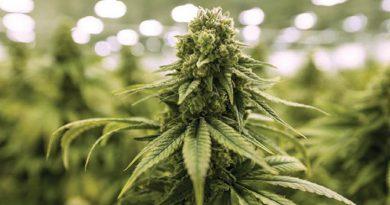Pięć tysięcy szczęśliwych Szwajcarów od maja będzie mogło legalnie kupić marihuanę